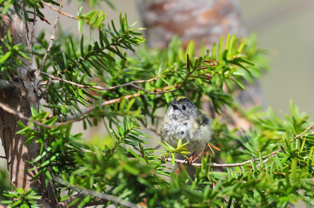 イチイの木に留まるキクイタダキ