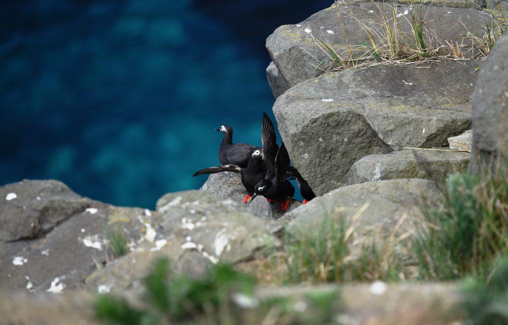 天売ブルーに浮かぶ赤い脚のケイマフリ