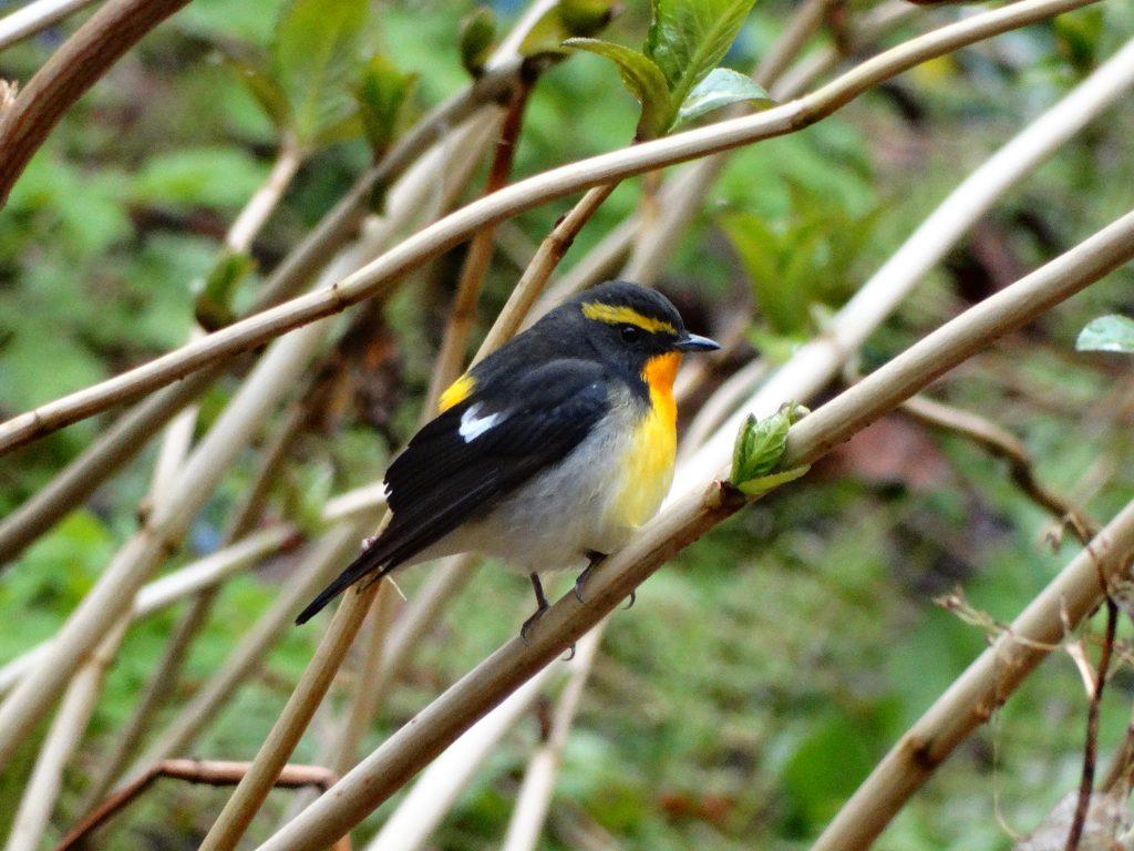 焼尻島の森を賑わす渡り鳥