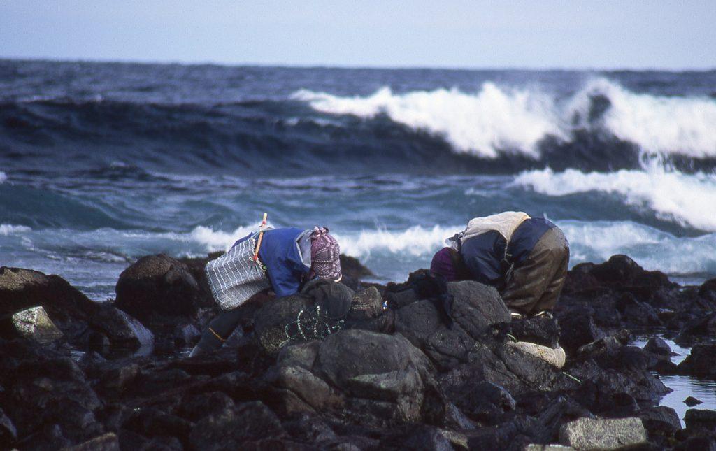 焼尻島の岩のり漁