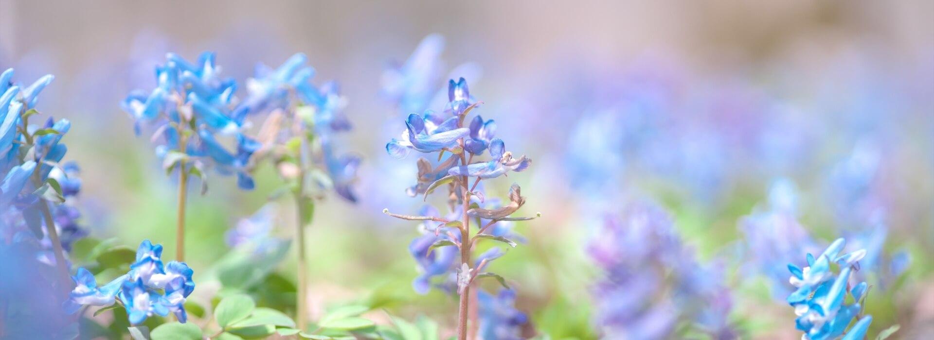 焼尻島の春